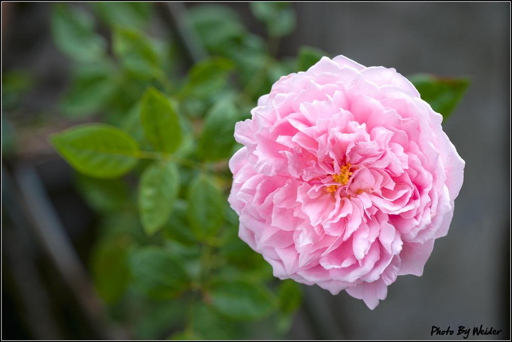 http://gnl.hunternet.com.tw/weider/web/wp-content/gallery/doggy-n-rose/ambridge-rose-20151019-01.jpg
