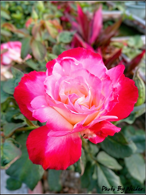 http://gnl.hunternet.com.tw/weider/web/wp-content/gallery/doggy-n-rose/double-delight-20150415-01.jpg