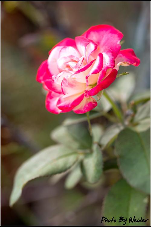 http://gnl.hunternet.com.tw/weider/web/wp-content/gallery/doggy-n-rose/jubiledu-prince-monaco-20151028-01.jpg
