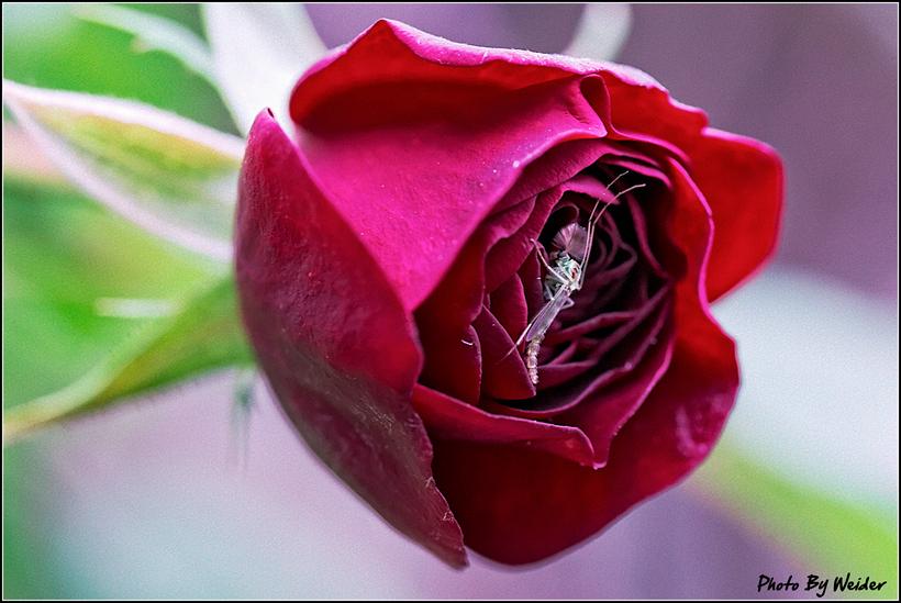 http://gnl.hunternet.com.tw/weider/web/wp-content/gallery/doggy-n-rose/lava-flow-20150221-01.jpg