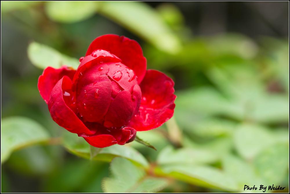 http://gnl.hunternet.com.tw/weider/web/wp-content/gallery/doggy-n-rose/lava-flow-20150526-01.jpg