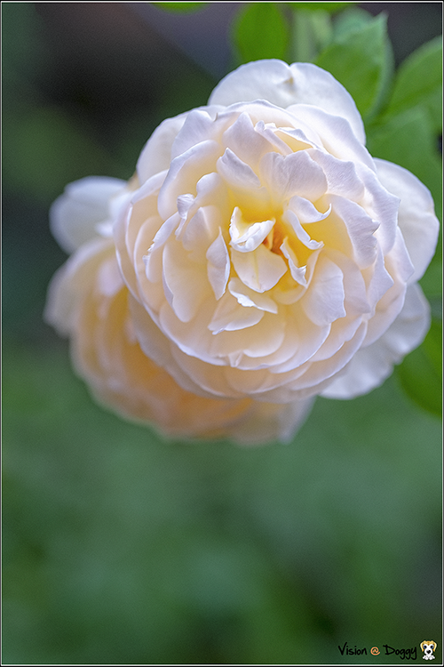 http://gnl.hunternet.com.tw/weider/web/wp-content/gallery/doggy-n-rose/pic-20180809-01-rose.png