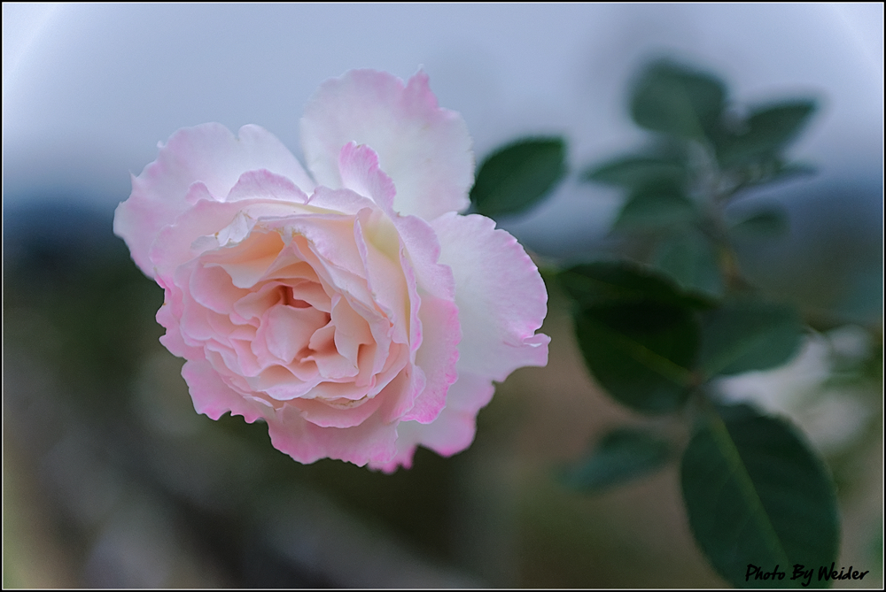 http://gnl.hunternet.com.tw/weider/web/wp-content/gallery/doggy-n-rose/rose-le-blanc-20150106-025.jpg
