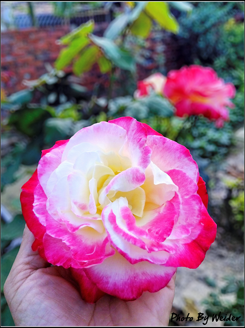 http://gnl.hunternet.com.tw/weider/web/wp-content/gallery/doggy-n-rose/rose-pic-20150128-01.jpg