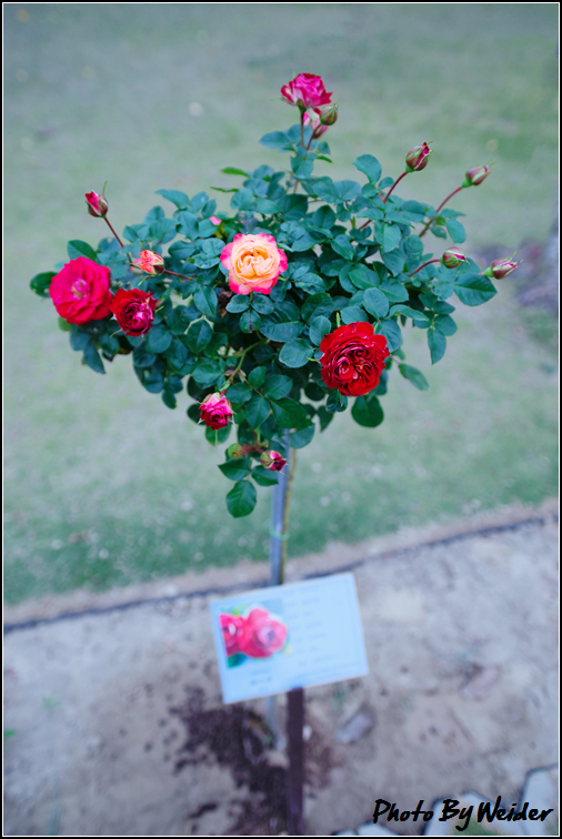 http://gnl.hunternet.com.tw/weider/web/wp-content/gallery/other/rose-pic-20150106-003-reds-rose.jpg