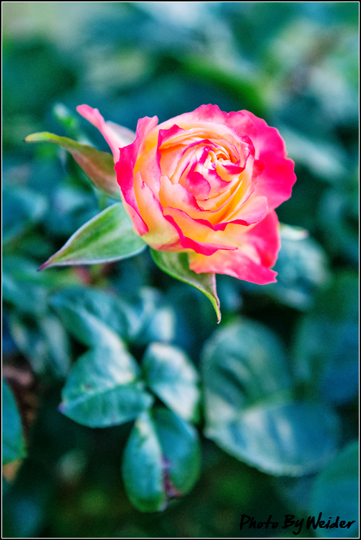 http://gnl.hunternet.com.tw/weider/web/wp-content/gallery/other/rose-pic-20150106-004-reds-rose.jpg