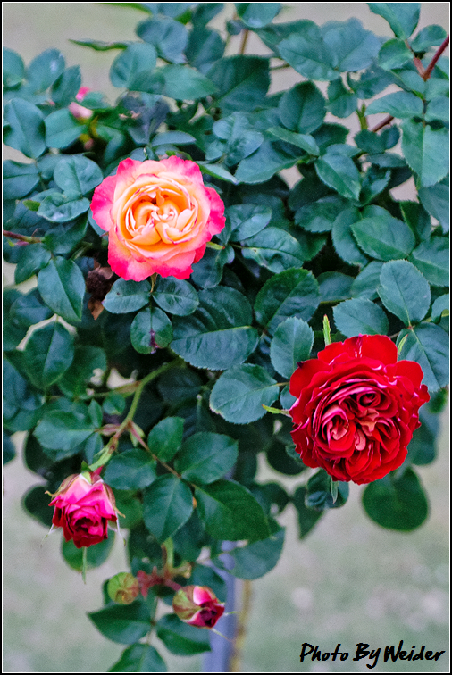 http://gnl.hunternet.com.tw/weider/web/wp-content/gallery/other/rose-pic-20150106-005-reds-rose.jpg