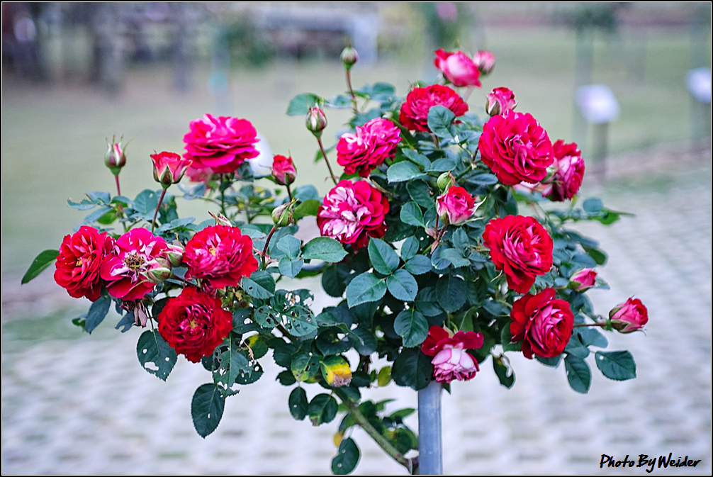 http://gnl.hunternet.com.tw/weider/web/wp-content/gallery/other/rose-pic-20150106-011-reds-rose.jpg
