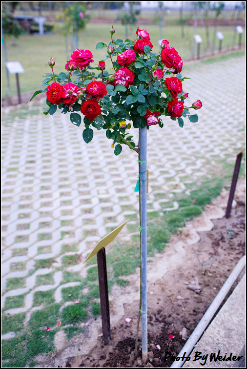 http://gnl.hunternet.com.tw/weider/web/wp-content/gallery/other/rose-pic-20150106-012-reds-rose.jpg
