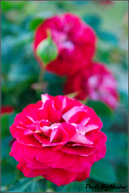 http://gnl.hunternet.com.tw/weider/web/wp-content/gallery/other/rose-pic-20150106-013-reds-rose.jpg