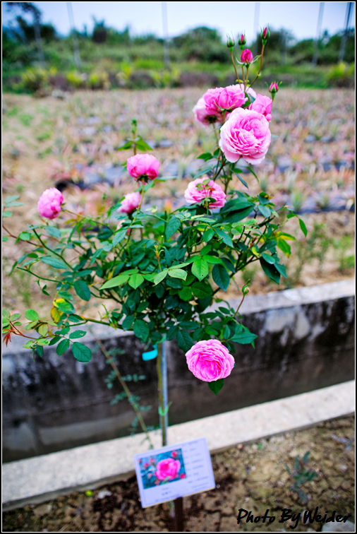 http://gnl.hunternet.com.tw/weider/web/wp-content/gallery/other/rose-pic-20150106-014-miyako.jpg