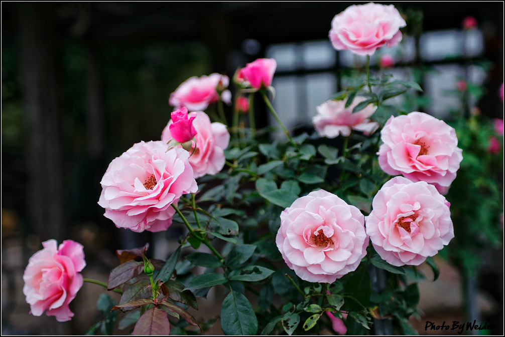http://gnl.hunternet.com.tw/weider/web/wp-content/gallery/other/rose-pic-20150106-022-our-lady.jpg